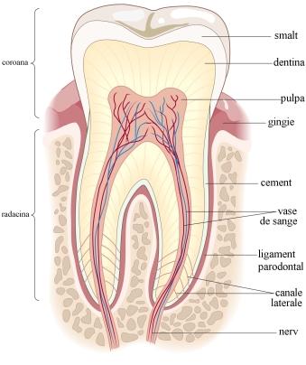 Cum arata un dinte?