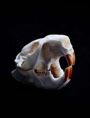 beaver-skull